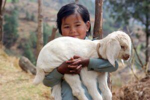 sherpa girl lamb